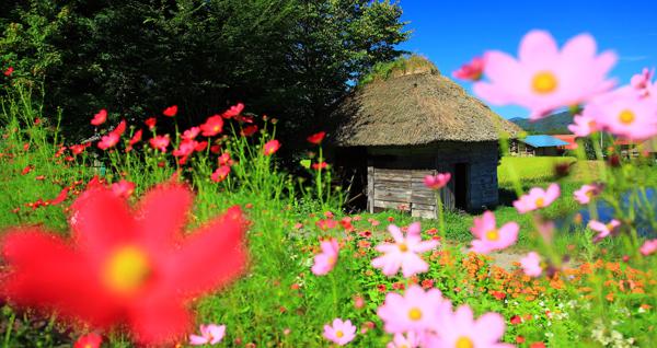 岩手県遠野市 コスモスと山口の水車小屋